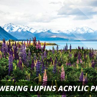 Flowering Lupins NZ Fine Art Acrylic Print A2